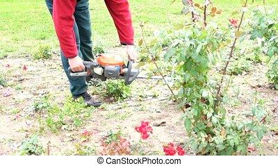 Gardener trimming down the rosed.