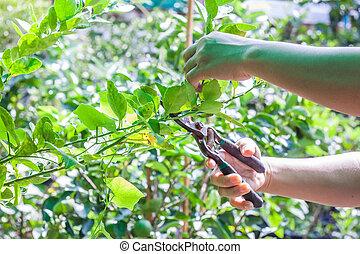 Gardener use prunning shears trim lemon branch