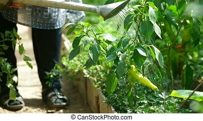 Gardener watering chilly pepper