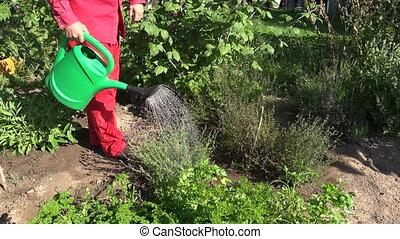 gardener watering medical plants