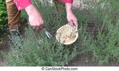collecting savory Satureja hortensi - Gardener wearing red...