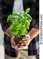 Gardener with a pot of basil