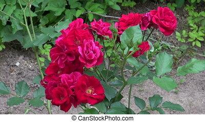 gardener with magnifier looking fresh rose buds in garden....