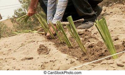 Gardener With Vetiver Gras