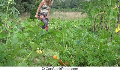 Gardener woman harvesting zucchini courgette with knife and carry vegetables in summer garden. 4K