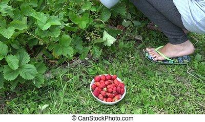 Gardener woman pick harvest strawberry in garden. 4K