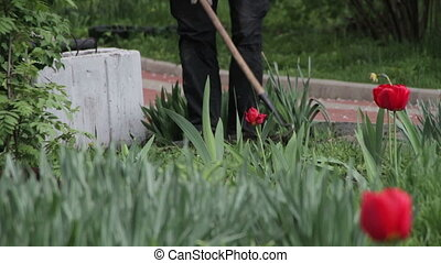 Gardener Working with a Hoe in the Park with Tulips