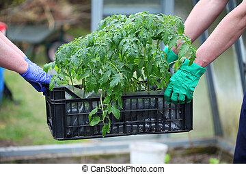 Gardeners carries box with tomatoes - Gardener carries box...