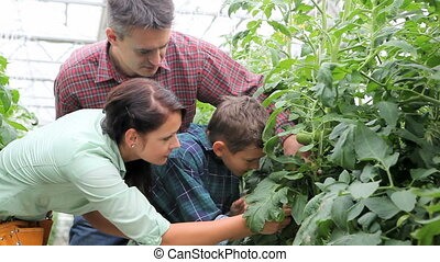 Gardeners - Happy family taking care of tomato plants in the...