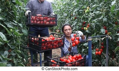 Latina woman and caucasian man seasonal workers harvesting ripe tomatoes in greenhouse