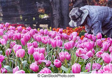 Gardeners planting flower in the tulip flower garden