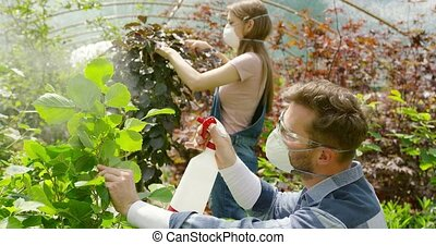 Gardeners spraying plants with chemical - Young man and...
