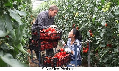 Latina woman and caucasian man seasonal workers harvesting ripe tomatoes and friendly talking in greenhouse