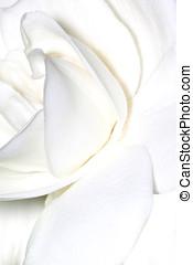 gardenia close-up