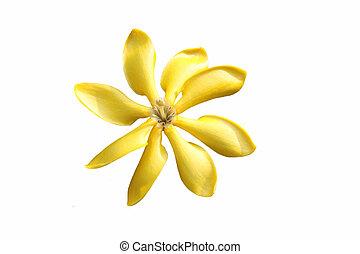 gardenia flower isolate