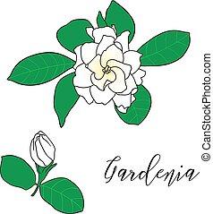 Gardenia jasminoides, cape jasmine, danh-danh. Hand drawn...
