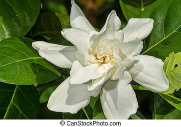 Gardenia jasminoides in the garden