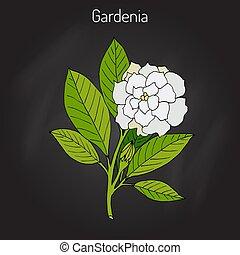 gardenia, jasminoides