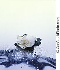 Gardenia on White