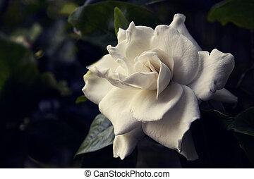 Toned image of a white gardenia flower