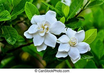 gardenie, jasminoides
