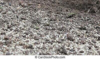 Lawn Seeding Manual Rake - Gardening Activity - Lawn Seeding...