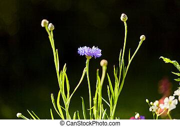 beautiful cornflower in summer garden