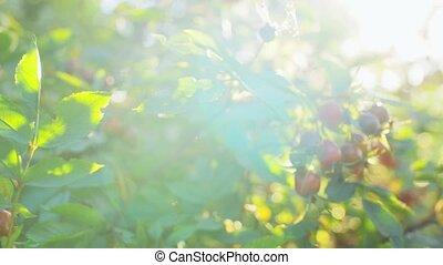 dogrose bush with berries at summer garden - gardening, ...