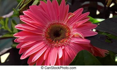Gardening: close-up, detailed view of a Gerbera Daisy flower.