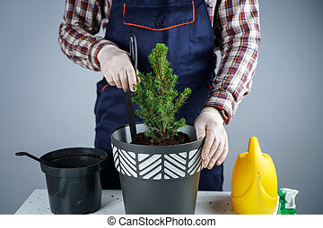 Gardening concept. Transplanting and seeding new plants fir-tree. Closeup on hands and pots. Man gardener transplants houseplant Conic spruce in new pot inside on the background of a gray wall