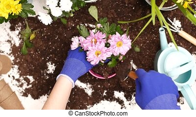 Young woman replanting flowers.