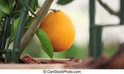 gardening, hand touching orange