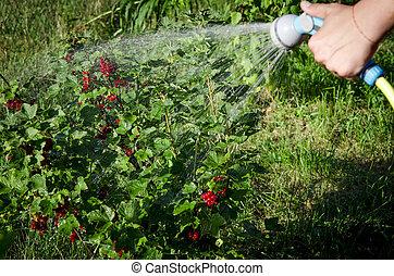 Gardening. hand watering plants. eggplant in vegetable garden. close up