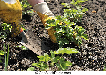 Gardening - hands with a shovel cultivating strawberry ...