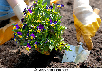 hands with shovel and pansies