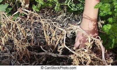 Gardening in Veggie Patch - A gardener clearing away dead...