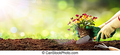 Gardening - Planting A Pansy In Sunny Garden