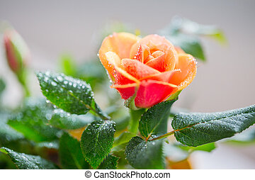 close up of rose flower