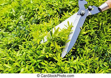 gardening pruning closeup, trimming bushes in spring