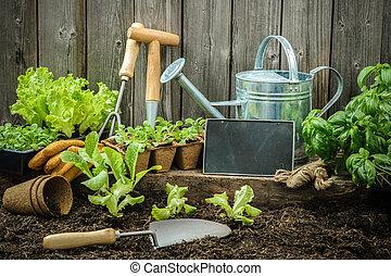 Gardening - Seedlings of lettuce with gardening tools...