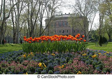 Gardening tulips