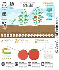 Gardening work, farming infographic. Tomato. Graphic template. Flat style design