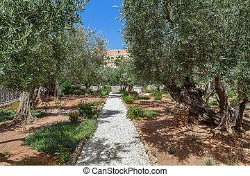 Gardens of Gethsemane in Jerusalem. - Olive trees in famous...