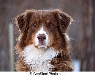 gardien, chien