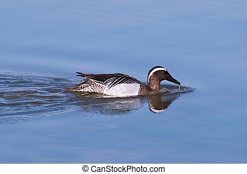 Garganey dabbling duck (Anas querquedula) swimming in the wetlands of the %u201CIsola della Cona%u201D Natural Reserve (Friuli, Italy)