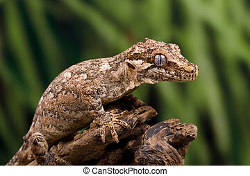 Gargoyle gecko isolated on black  Gargoyle gecko on a dead