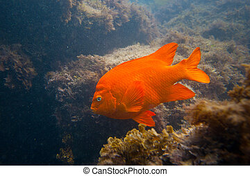 garibald, california meridional, océano