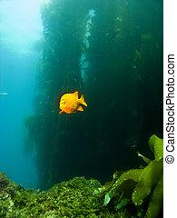 Garibaldi swimming out of the Kelp in Catalina - Garibaldi ...