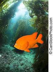 A bright, orange garibaldi fish swimming through a kelp bed at Catalina Island