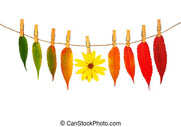garland of colorful autumn leaves and yellow flower on a rope with wooden clothespins isolated on white background